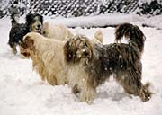 4 dogs in the snow