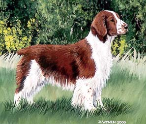 Welsh Springer Spaniel Painting Close-up